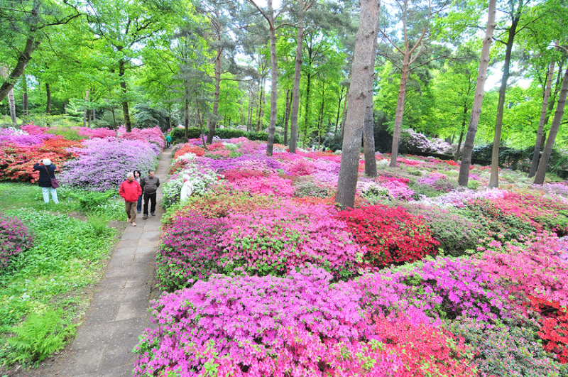 "The Azalea Garden in the ""Old Park"" is in full bloom"